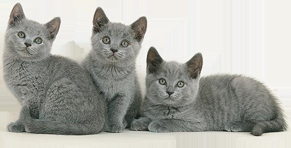 Recherchez un chat de race dans votre région