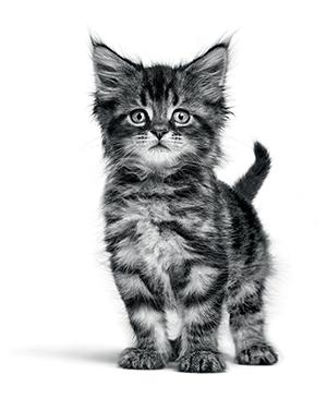 croissance chaton