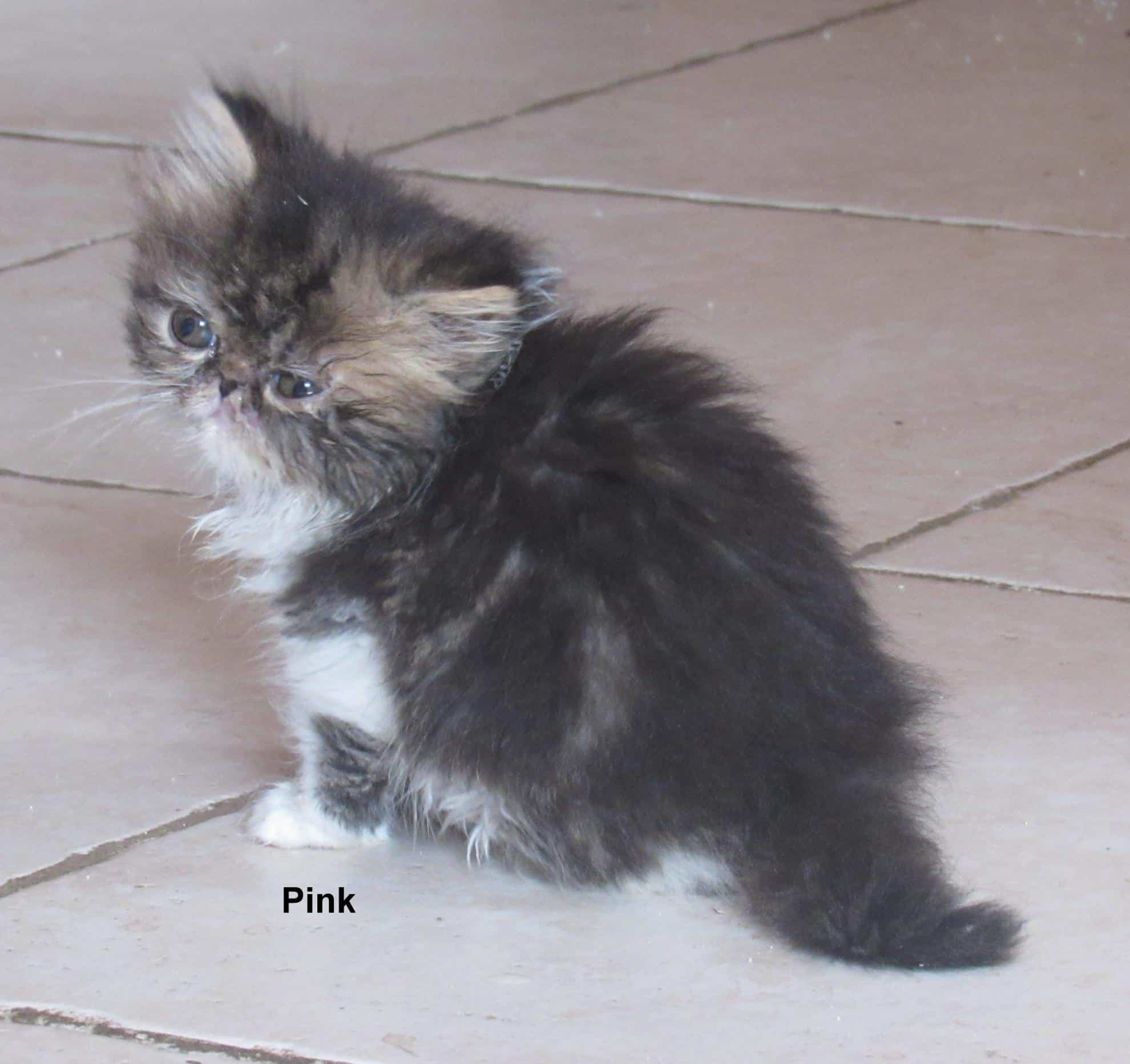 Chaton Persan : 1  mâle - femelle 1 98514