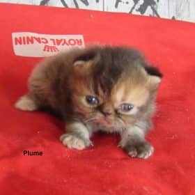 Plume, brown tortie blotched tabby, 850€