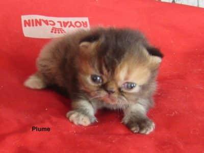 Chaton Persan : 0  mâle – femelles 2 97991