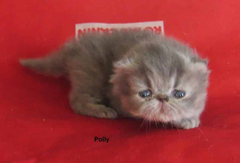 Polly, blue tortie (smoke silver?), 850€