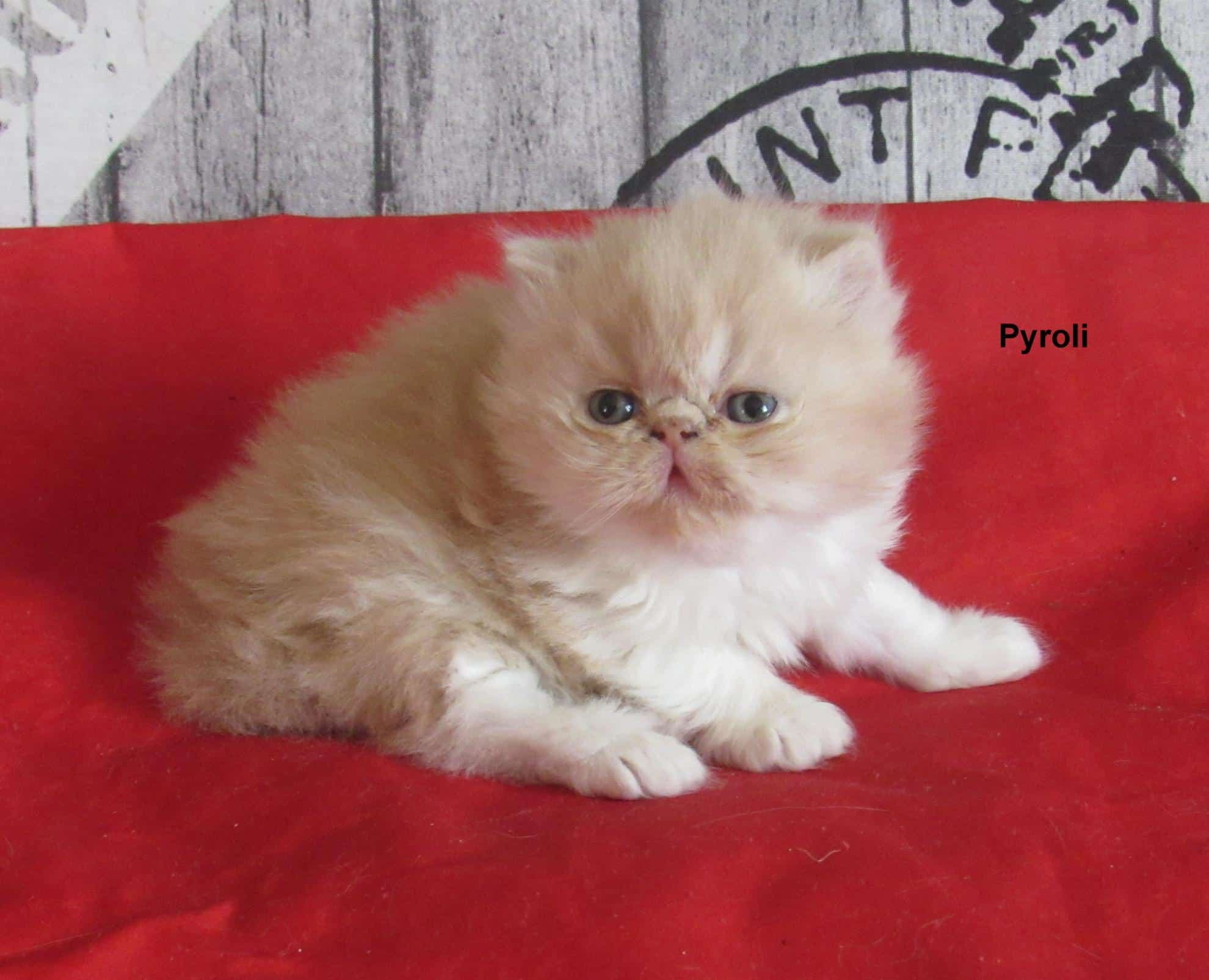 Chaton Persan : 1  mâle - femelle 1 97905