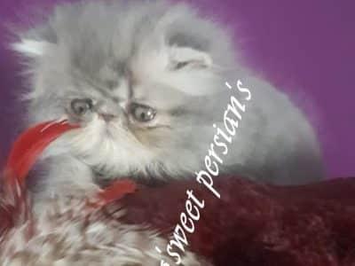 Chaton Exotic shorthair : 1  mâle – femelle 0 98131