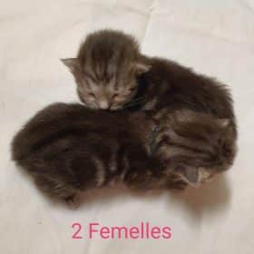 Chaton Siberien : 0  mâle – 2  femelles 98851