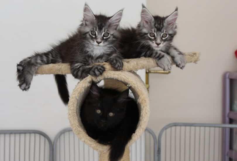 1 femelle noire 1 femelle black silver 1 male black silver