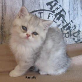 Pastelle, exotic shorthair black silver mackerel tabby et blanc, 850€