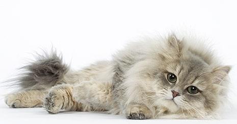 Souscrire un contrat d'assurance-santé pour mon chat : quand et pourquoi le faire ?