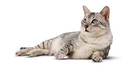 Encourager le chat à être actif : enrichissez son environnement