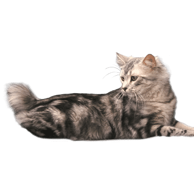 http://www.wikichat.fr/wp-content/uploads/sites/2/AMERICAN-BOBTAIL-400x400.png