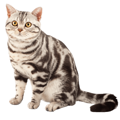 http://www.wikichat.fr/wp-content/uploads/sites/2/AMERICAN_SHORTHAIR-2-400x400.png