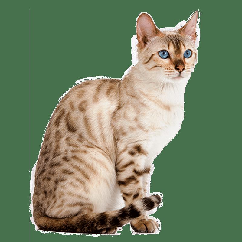 Chat bengal chat et chaton fiche de race du chat bengal - Chat du bengal gratuit ...