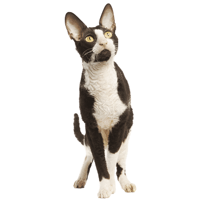 https://www.wikichat.fr/wp-content/uploads/sites/2/CORNISH-REX-400x400.png