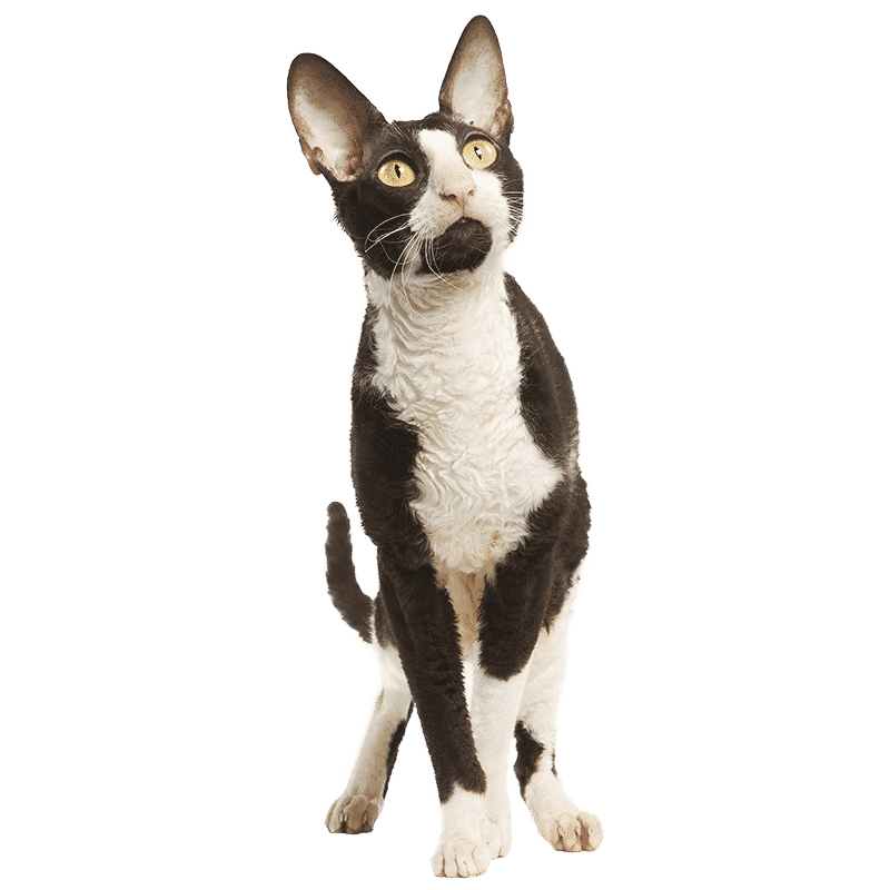 https://www.wikichat.fr/wp-content/uploads/sites/2/CORNISH-REX.png