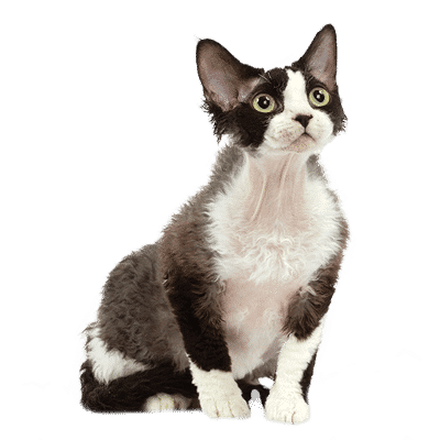 https://www.wikichat.fr/wp-content/uploads/sites/2/DEVON-REX-400x400.png