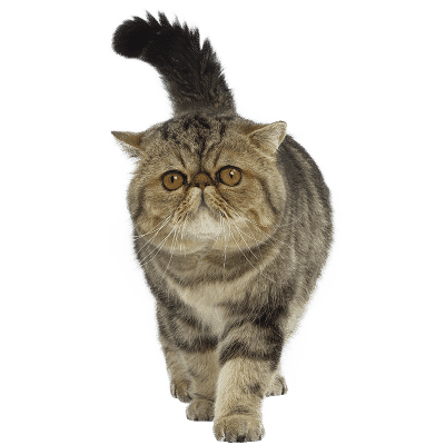 https://www.wikichat.fr/wp-content/uploads/sites/2/EXOTIC-SHORTHAIR-400x400.png