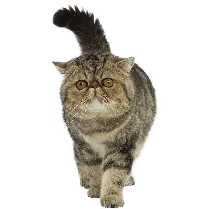 https://www.wikichat.fr/wp-content/uploads/sites/2/EXOTIC-SHORTHAIR.png