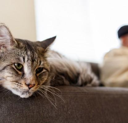 Le chat d'intérieur ou chat d'appartement