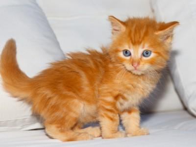 La croissance du chaton
