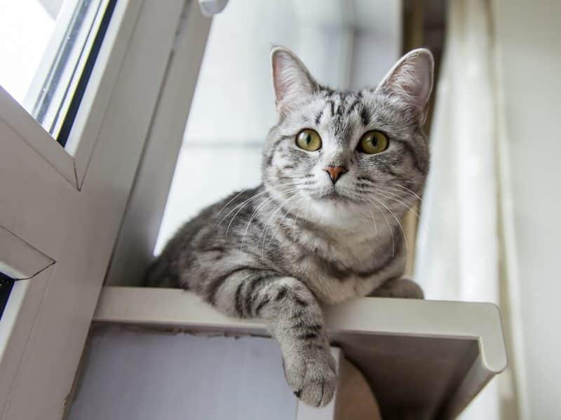 Le comportement du chat castré est-il différent de celui du chat entier ?