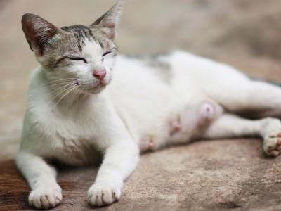Reproduction, puberté et chaleur chez le chat