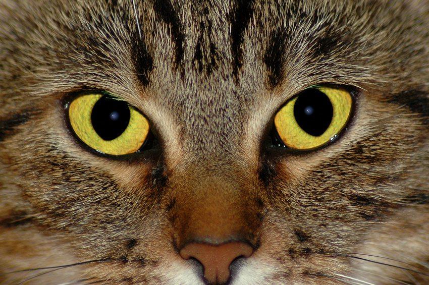 Les sens du chat