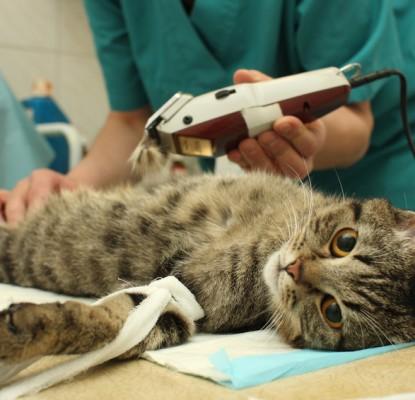 Stérilisation du chat : Pourquoi faire stériliser mon chat ?