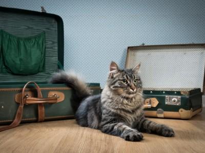 Puis-je voyager avec mon chat mature ?