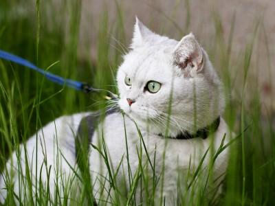 Peut-on promener son chat en laisse ?