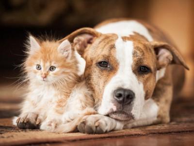 La cohabitation chien chat