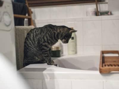 Puis-je donner un bain à mon chat? Comment laver mon chat?