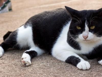 Obésité chez le chat : Mon chat est-il gros ?