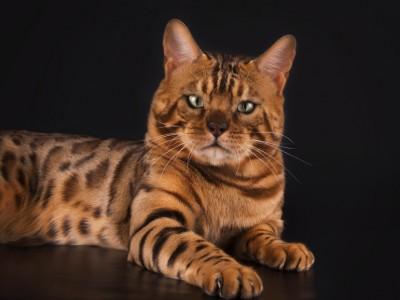 Race de chat et felinophilie
