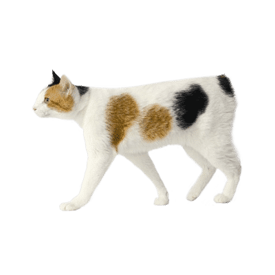 https://www.wikichat.fr/wp-content/uploads/sites/2/JAPANESE-BOBTAIL-2-400x400.png