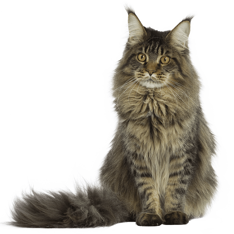 http://www.wikichat.fr/wp-content/uploads/sites/2/MAINE-COON.png