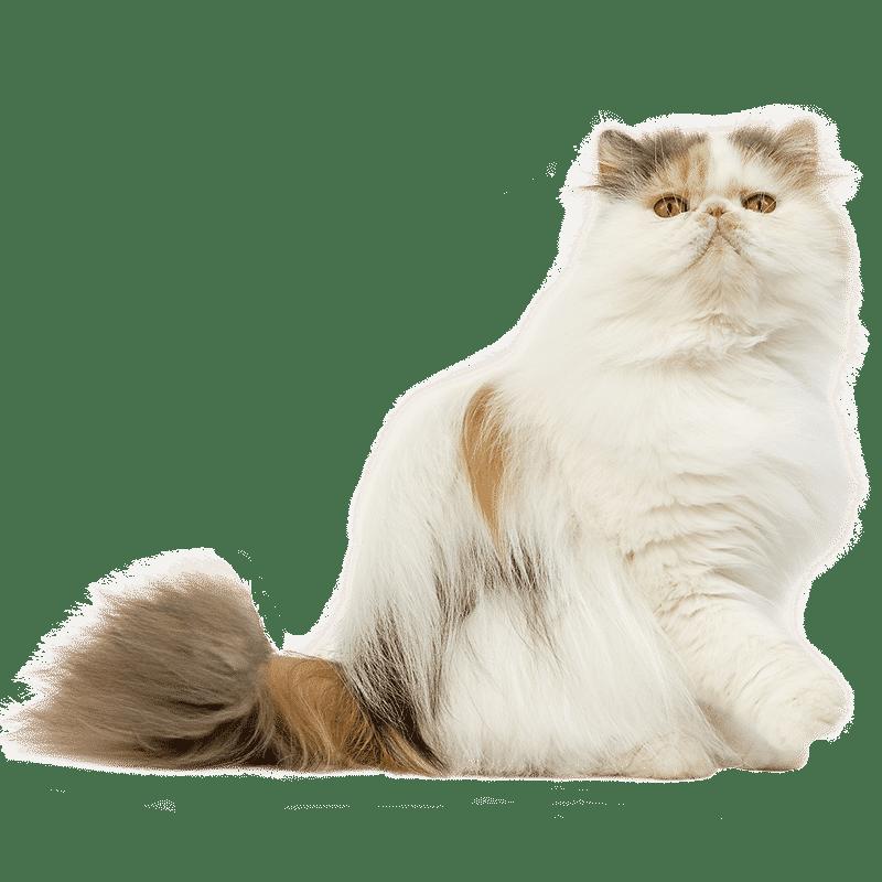 chat persan chat et chaton fiche de race du chat persan wikichat. Black Bedroom Furniture Sets. Home Design Ideas