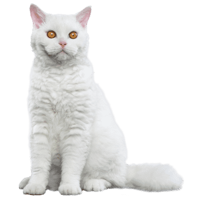 https://www.wikichat.fr/wp-content/uploads/sites/2/SELKIRK-REX-400x400.png