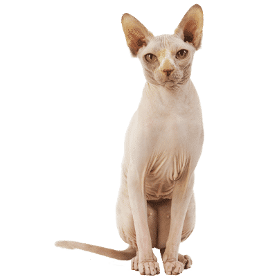 http://www.wikichat.fr/wp-content/uploads/sites/2/SPHYNX-400x400.png
