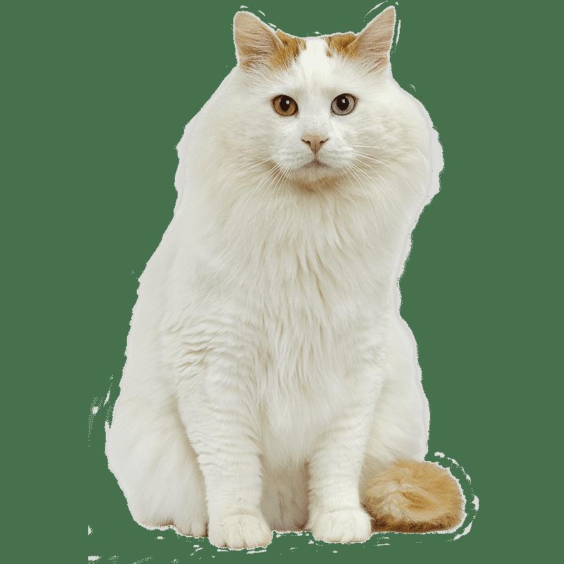 chat turc de van chat et chaton fiche de race du chat turc de van wikichat. Black Bedroom Furniture Sets. Home Design Ideas