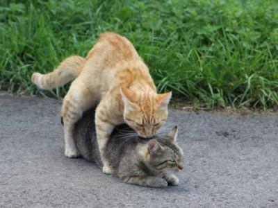 L'accouplement du chat