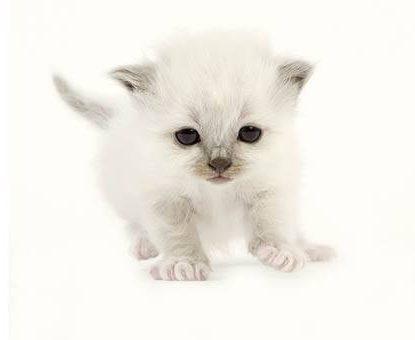 Accueillir et préparer l'arrivée d'un chaton