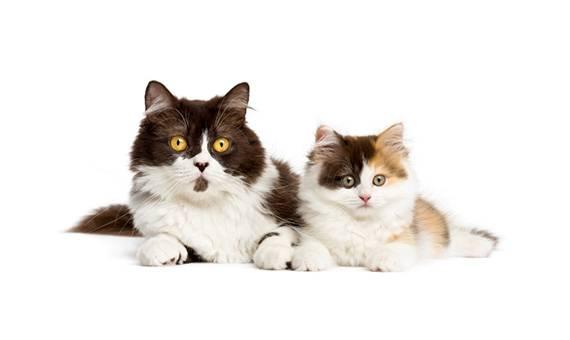 https://www.wikichat.fr/wp-content/uploads/sites/2/accueillir-un-second-chat-a-la-maison-les-secrets-d-une-bonne-cohabitation_1-1.jpg