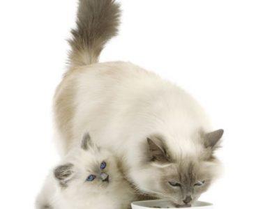 Les bienfaits des céréales dans les aliments pour chats