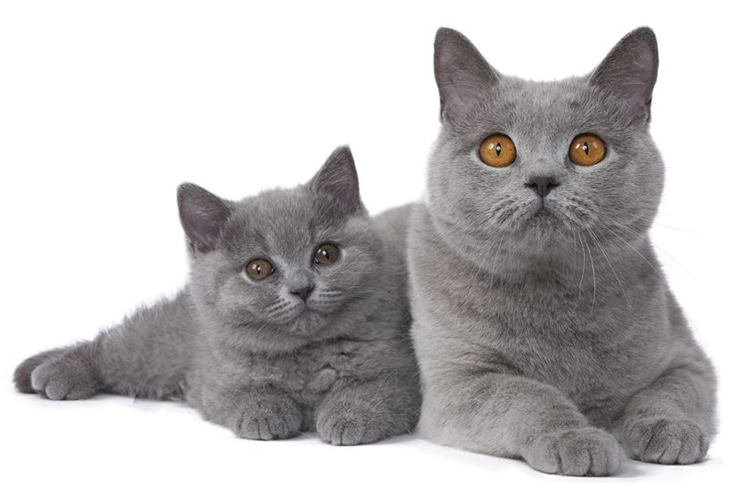 chat british shorthair chat et chaton fiche de race du chat british shorthair wikichat. Black Bedroom Furniture Sets. Home Design Ideas