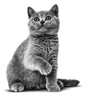 donner chaton adoption