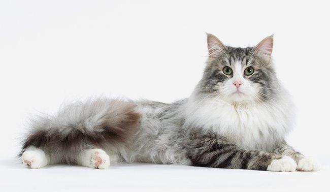 Chat Chat des Forêts Norvégiennes  Chat et Chaton, Fiche de race du chat  Chat des Forêts Norvégiennes , Wikichat