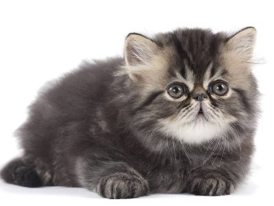Le choix d'un chaton de race