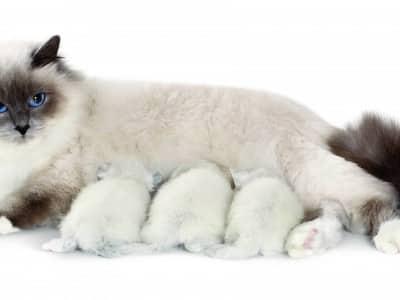 Ma chatte allaitante a des convulsions : que faire ?