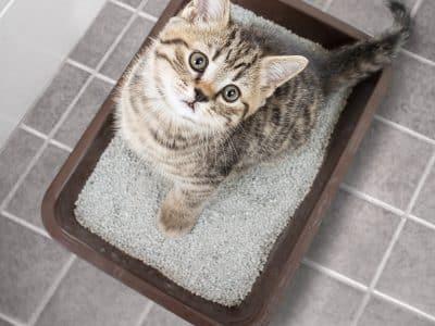 La cystite, une affection urinaire chez les chats qui présentent du stress