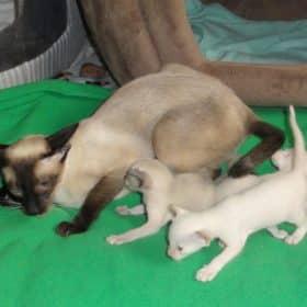 Chaton Siamois : 0  mâle – 3  femelles 98122